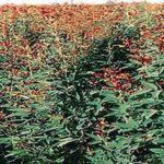 Folhas de Feijão Guandu 100g-0